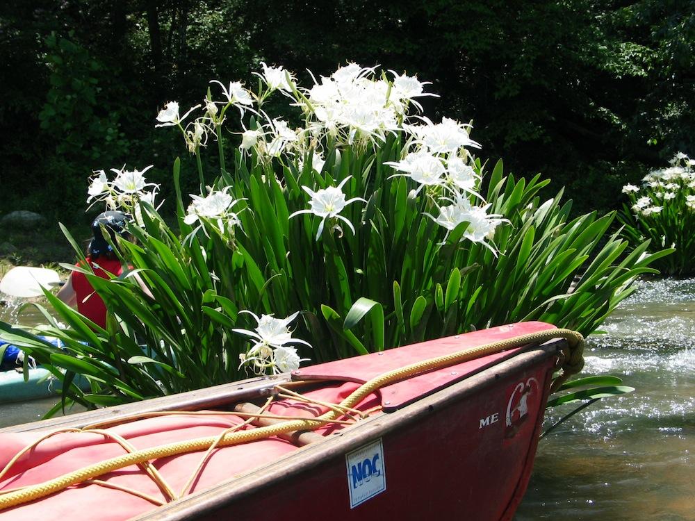 Briar's Landing Canoe Lilies