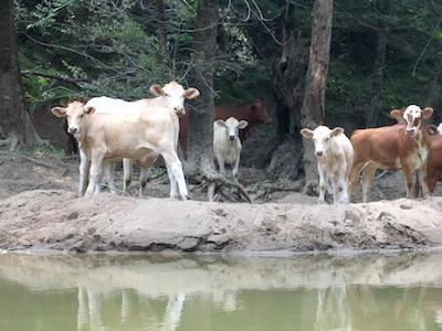 Cows Conasauga